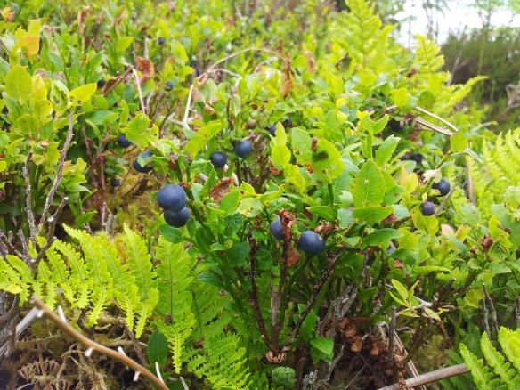 blaeberry 1